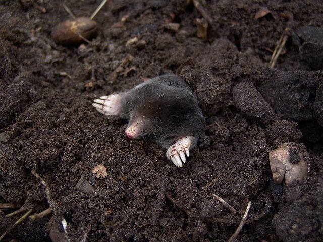 keep moles out of the garden