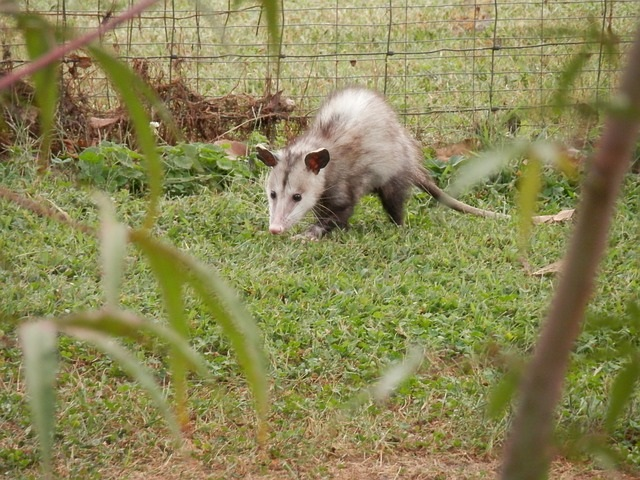 keep opossum out of the garden