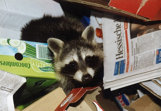 racoon out of garbage