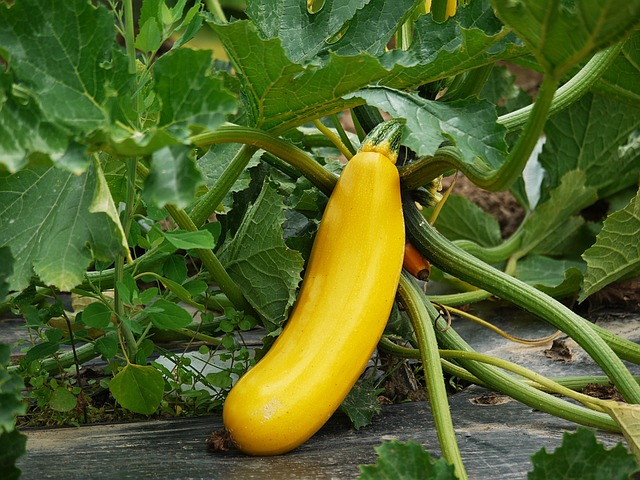 keep skunks out of garden with squash