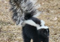get skunks out of your yard