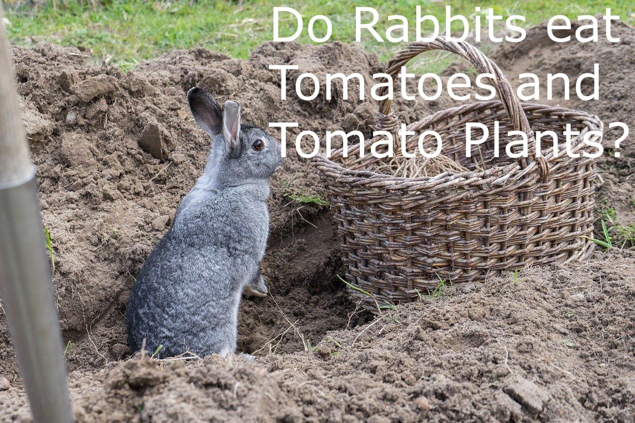 Do rabbits eat tomato plants