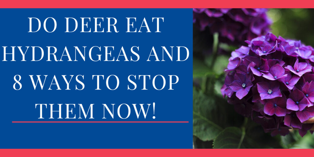 Do Deer Eat Hydrangeas and 8 Ways to Stop Them Now