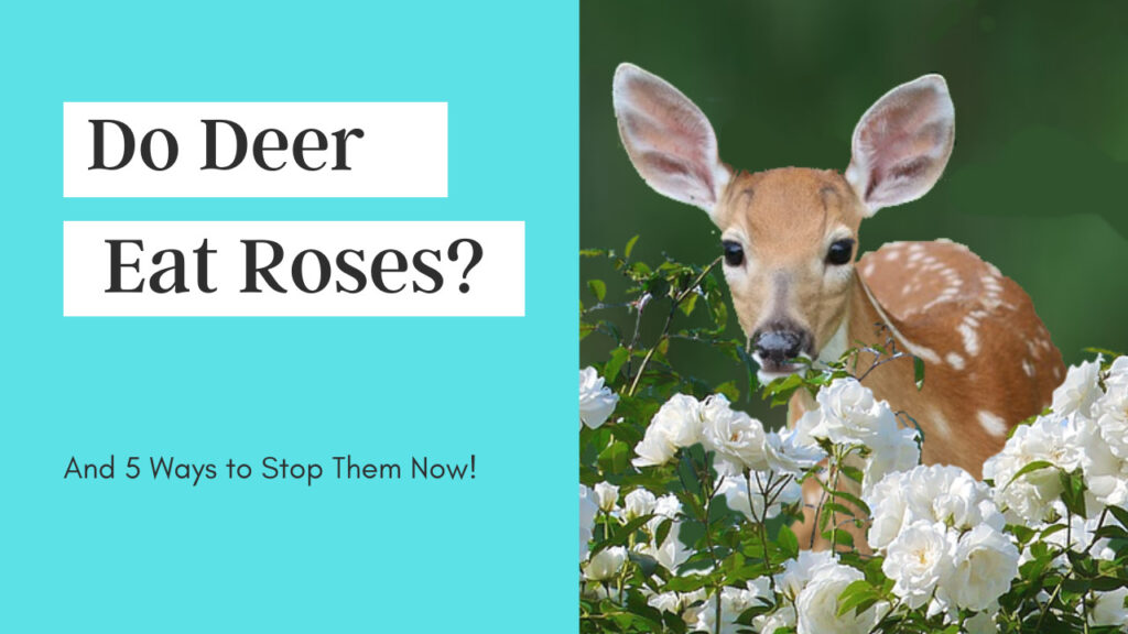 Do Deer Eat Roses and 5 Ways to Stop Them Now