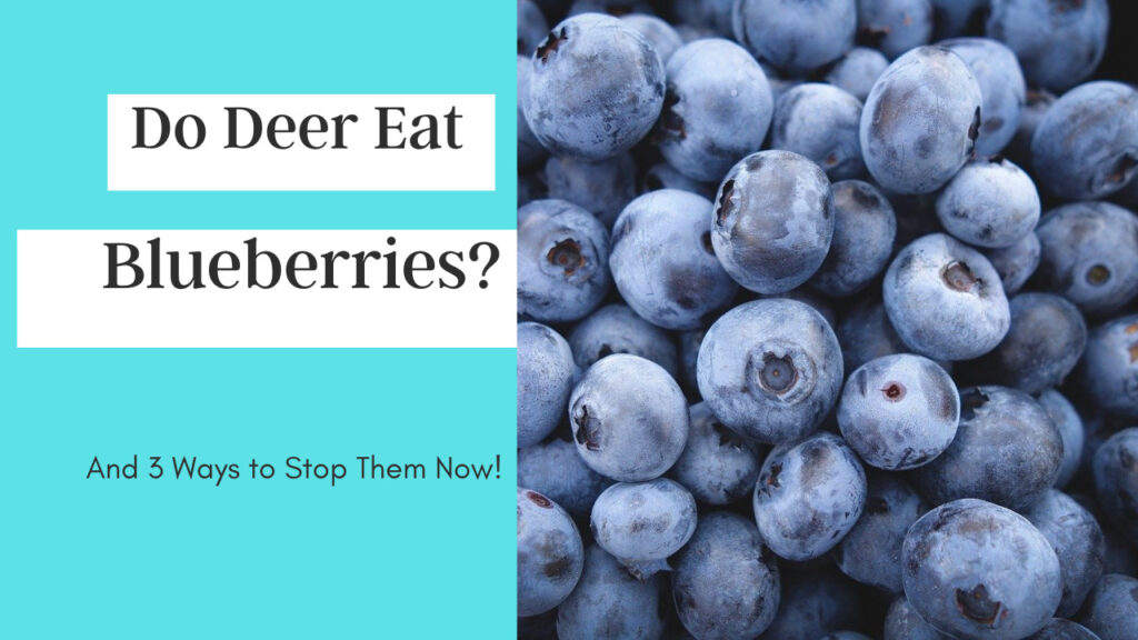 Do deer Eat blueberries and how to stop them